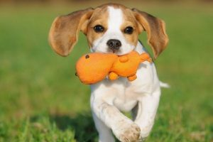 beagle-with-toy