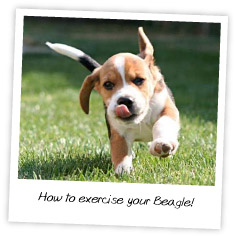 how-to-exercise-your-beagle