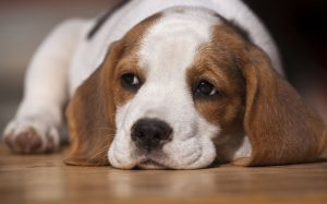 what-to-expect-from-the-beagles-behaviour-and-temperament-54f1c88e66291